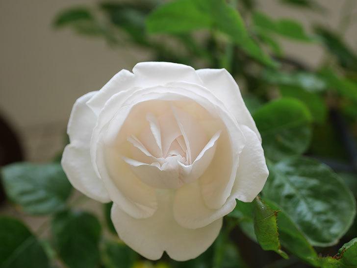 パブロア(Pavlova)の花が少し咲いた。半ツルバラ。2021年。-021.jpg