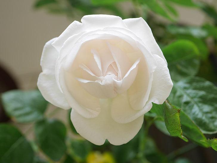 パブロア(Pavlova)の花が少し咲いた。半ツルバラ。2021年。-022.jpg