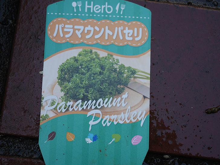 パラマウントパセリの苗をホームズで2個買って来た。2020年-002.jpg