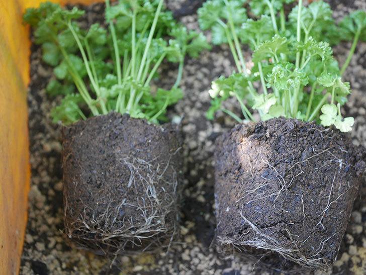 パラマウントパセリの苗をホームズで2個買って来た。2020年-004.jpg