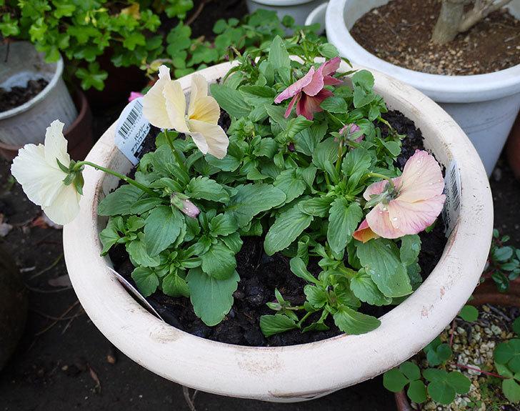 パンジー-アプリコットメルバを鉢に植え替えた1.jpg