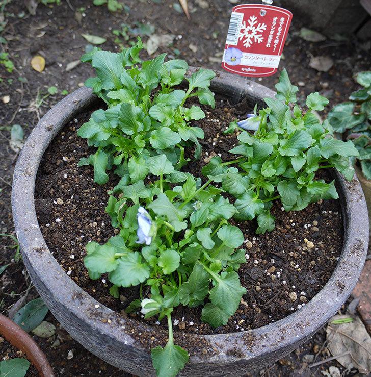 パンジー-ウィンターパーティーを鉢に植えた。2016年-1.jpg