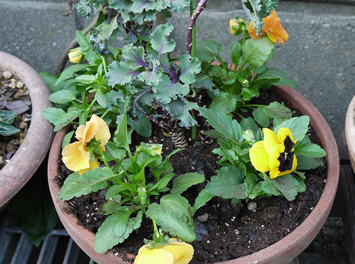 パンジーと葉牡丹を寄せ植えした1.jpg