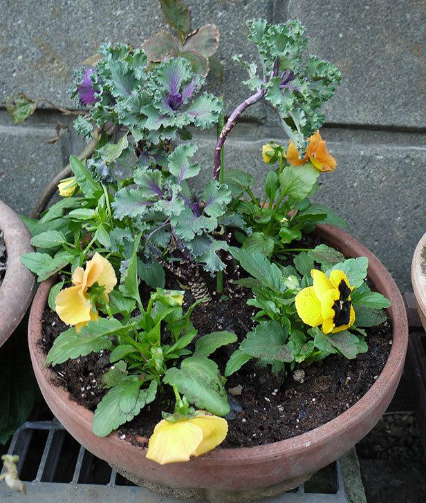 パンジーと葉牡丹を寄せ植えした2.jpg