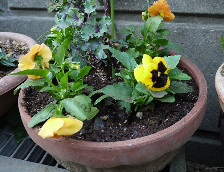パンジーと葉牡丹を寄せ植えした3.jpg