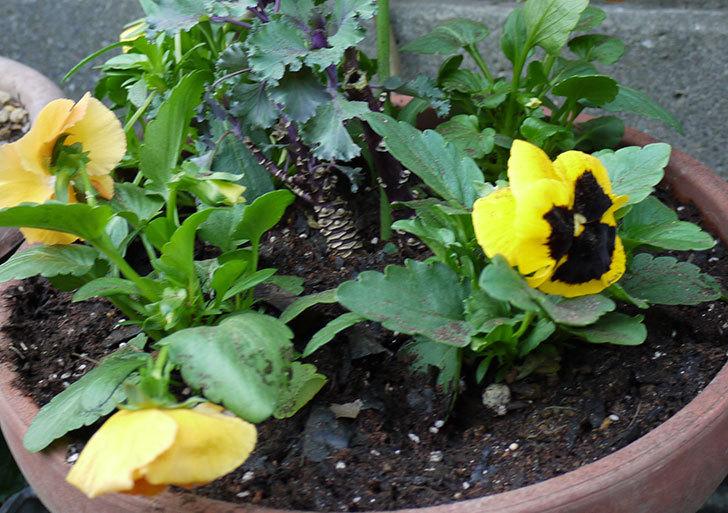 パンジーと葉牡丹を寄せ植えした4.jpg