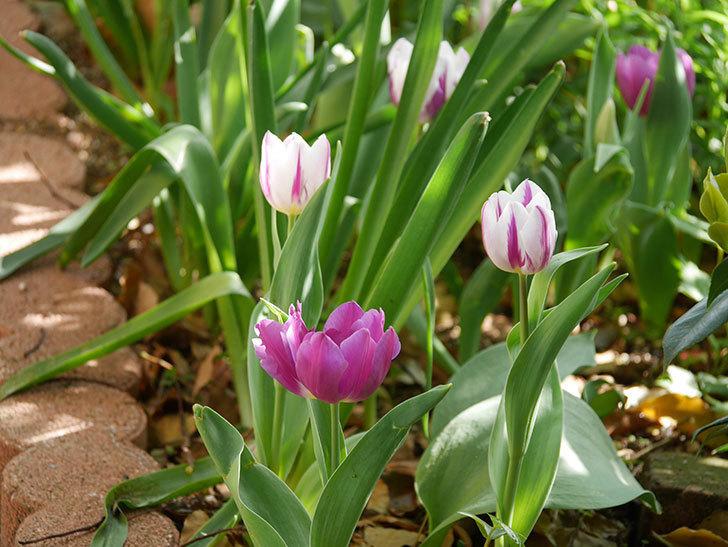 パープルフラッグとフレミングフラッグの花がたくさん咲いた。2021年-001.jpg