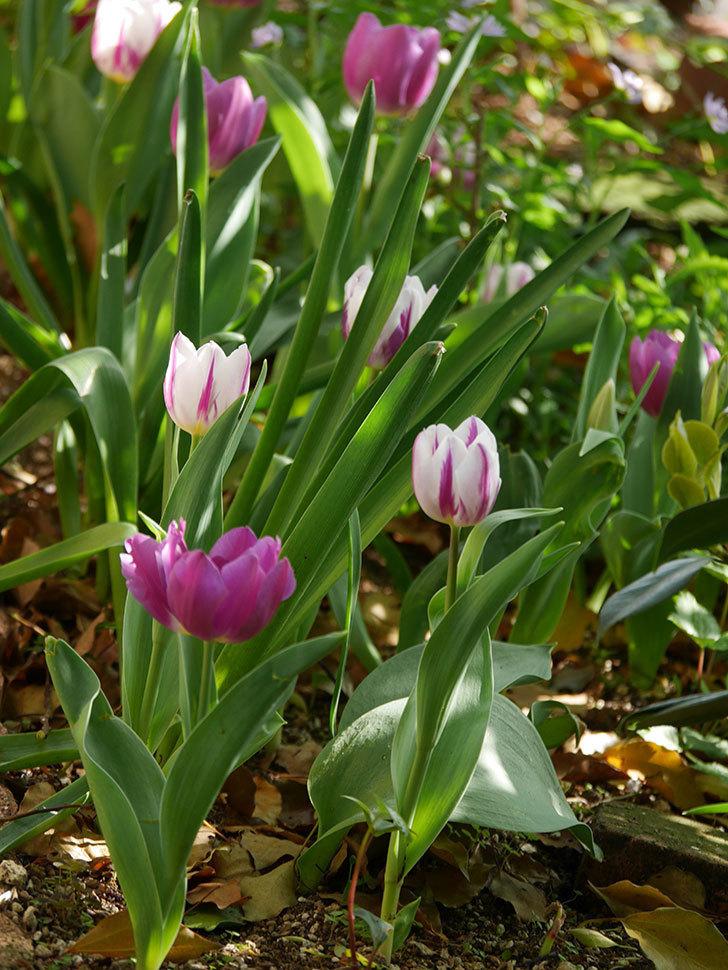 パープルフラッグとフレミングフラッグの花がたくさん咲いた。2021年-003.jpg