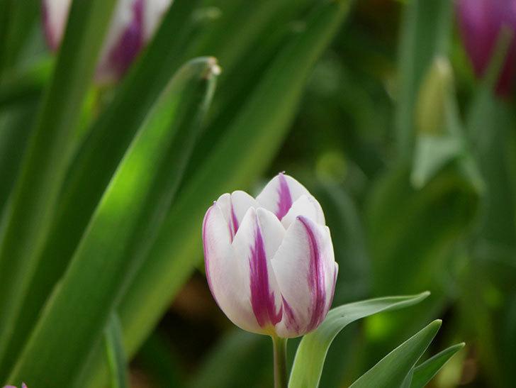 パープルフラッグとフレミングフラッグの花がたくさん咲いた。2021年-005.jpg