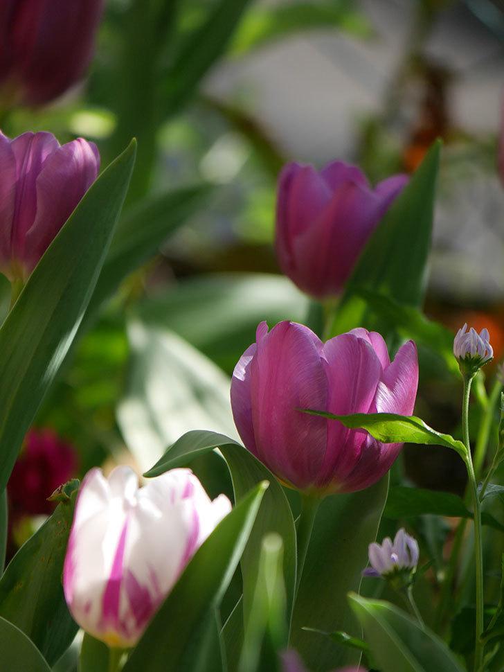 パープルフラッグとフレミングフラッグの花がたくさん咲いた。2021年-007.jpg