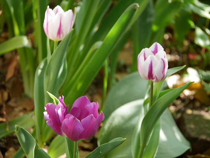 パープルフラッグとフレミングフラッグの花がたくさん咲いた。2021年-008.jpg