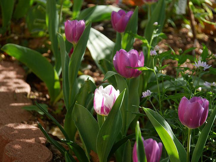 パープルフラッグとフレミングフラッグの花がたくさん咲いた。2021年-009.jpg