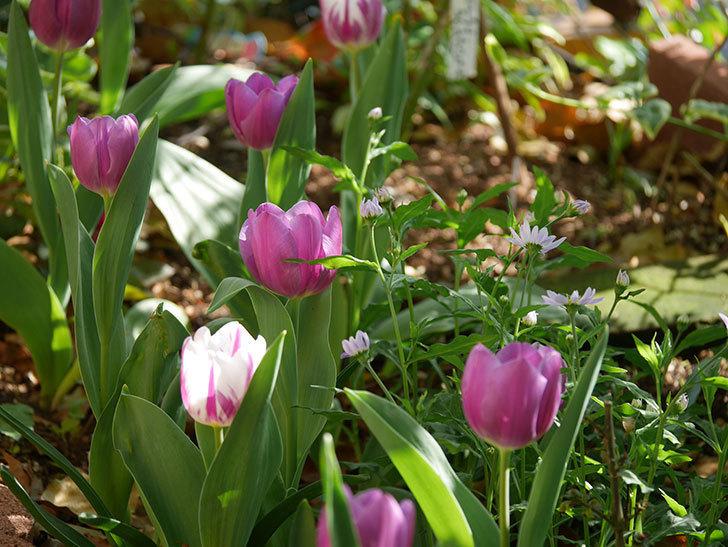 パープルフラッグとフレミングフラッグの花がたくさん咲いた。2021年-010.jpg