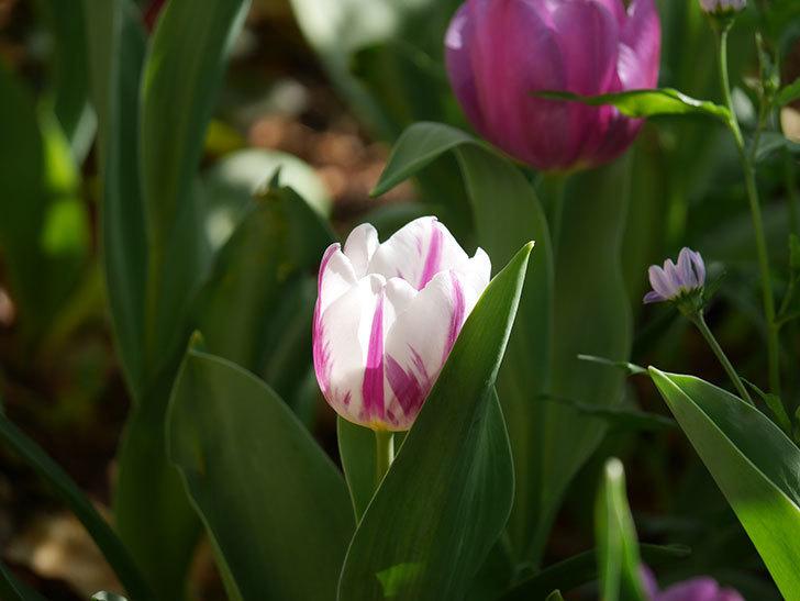 パープルフラッグとフレミングフラッグの花がたくさん咲いた。2021年-011.jpg