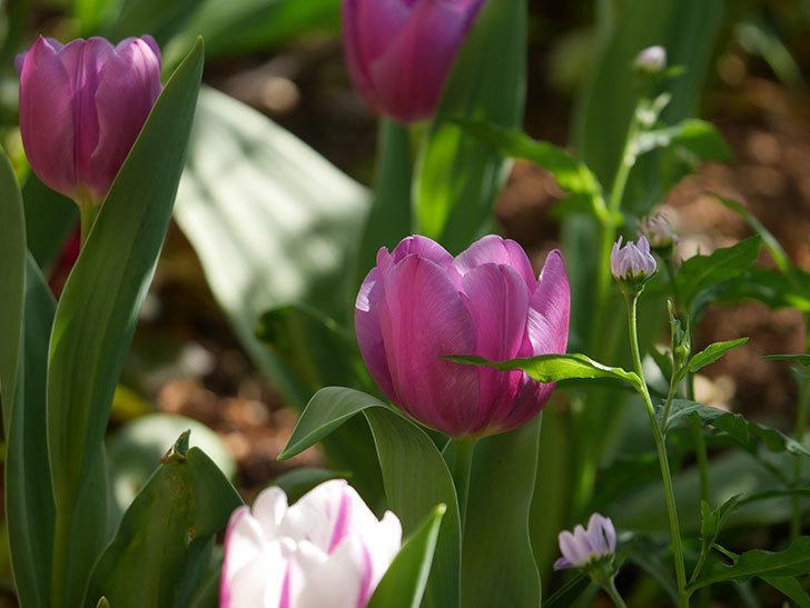 パープルフラッグとフレミングフラッグの花がたくさん咲いた。2021年-012.jpg