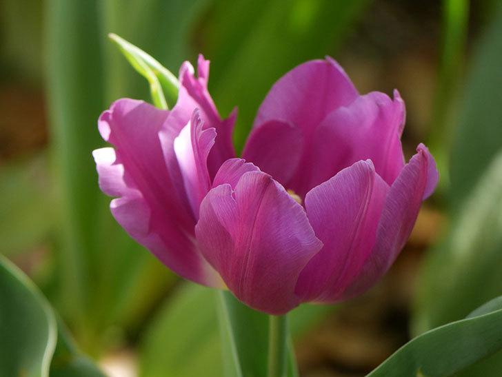 パープルフラッグとフレミングフラッグの花がたくさん咲いた。2021年-015.jpg