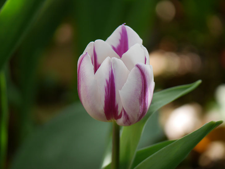 パープルフラッグとフレミングフラッグの花がたくさん咲いた。2021年-016.jpg