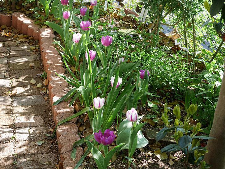 パープルフラッグとフレミングフラッグの花がたくさん咲いた。2021年-017.jpg