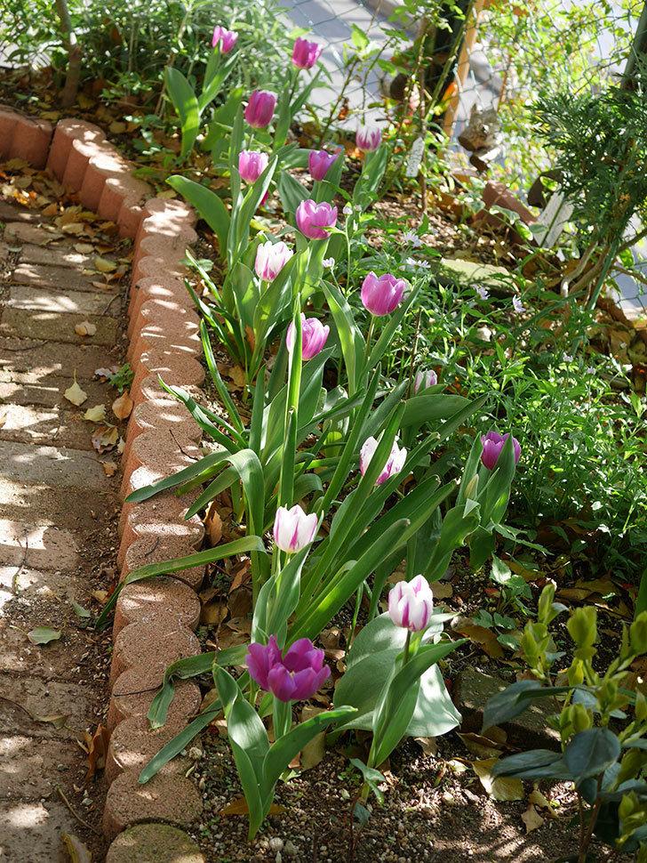 パープルフラッグとフレミングフラッグの花がたくさん咲いた。2021年-018.jpg