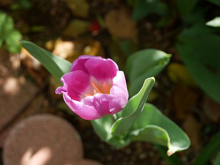 パープルフラッグとフレミングフラッグの花がたくさん咲いた。2021年-034.jpg