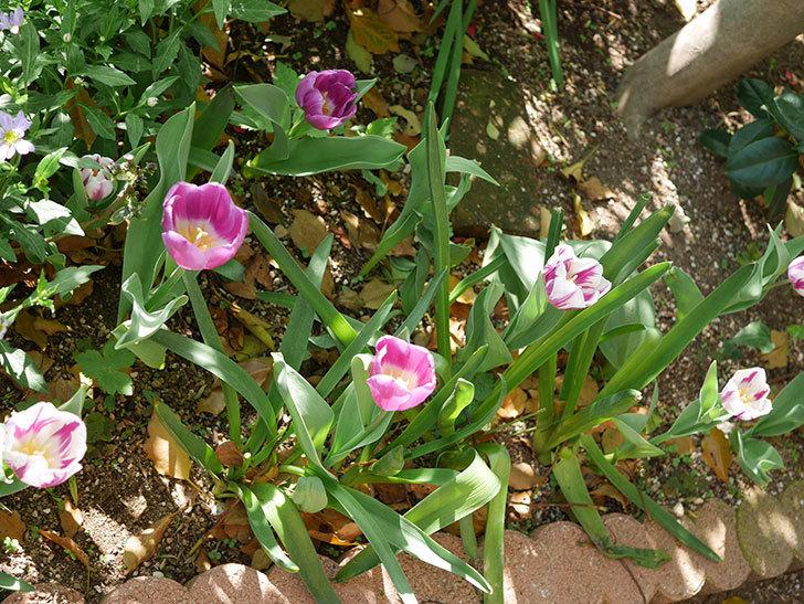 パープルフラッグとフレミングフラッグの花がたくさん咲いた。2021年-038.jpg