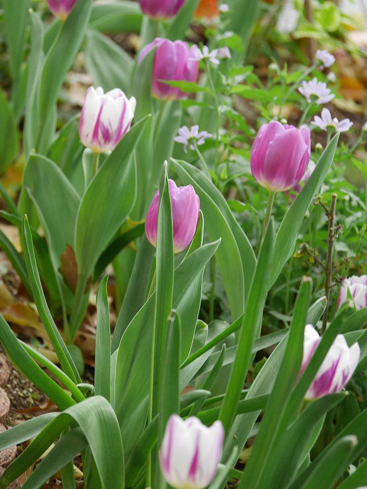パープルフラッグとフレミングフラッグの花がたくさん咲いた。2021年-041.jpg