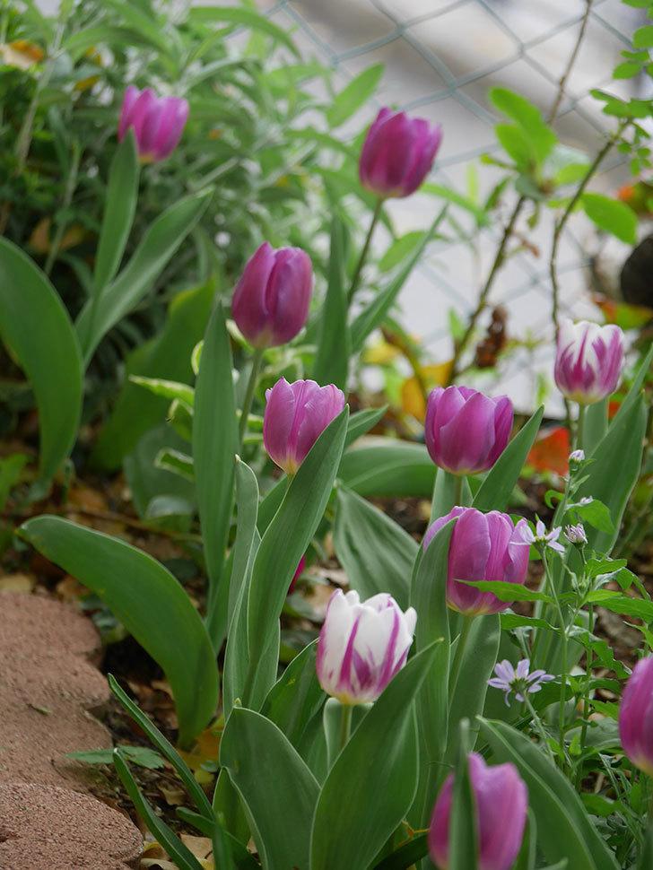 パープルフラッグとフレミングフラッグの花がたくさん咲いた。2021年-042.jpg