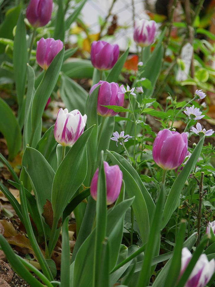 パープルフラッグとフレミングフラッグの花がたくさん咲いた。2021年-043.jpg