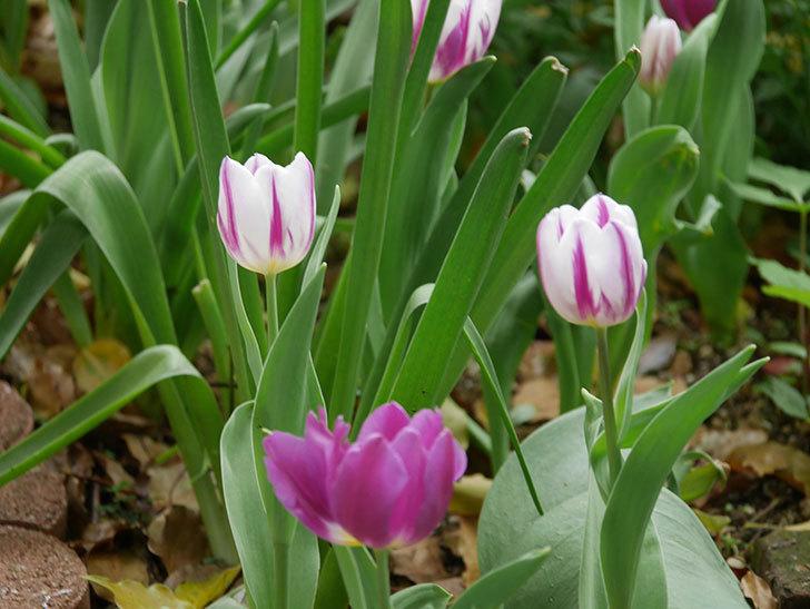 パープルフラッグとフレミングフラッグの花がたくさん咲いた。2021年-044.jpg