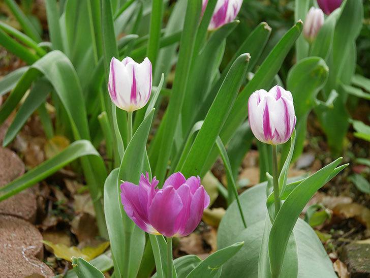 パープルフラッグとフレミングフラッグの花がたくさん咲いた。2021年-046.jpg