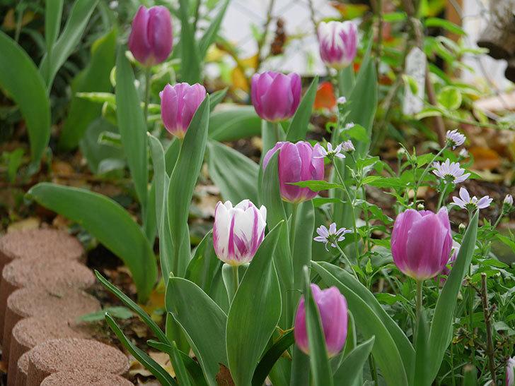 パープルフラッグとフレミングフラッグの花がたくさん咲いた。2021年-048.jpg