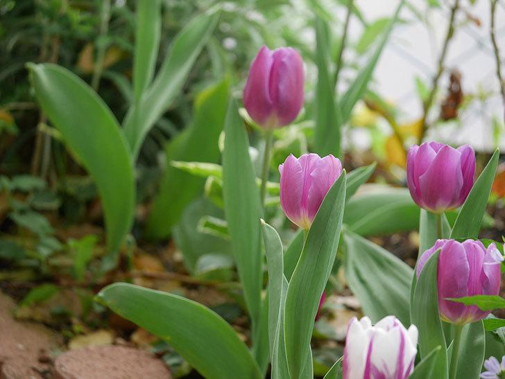 パープルフラッグとフレミングフラッグの花がたくさん咲いた。2021年-049.jpg
