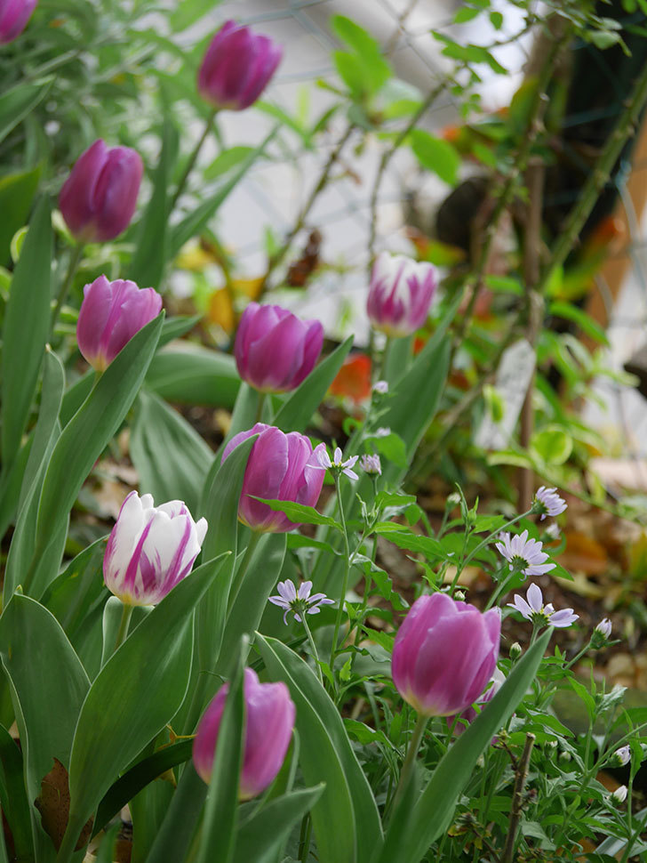 パープルフラッグとフレミングフラッグの花がたくさん咲いた。2021年-050.jpg