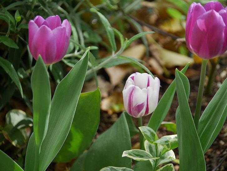 パープルフラッグとフレミングフラッグの花がたくさん咲いた。2021年-051.jpg