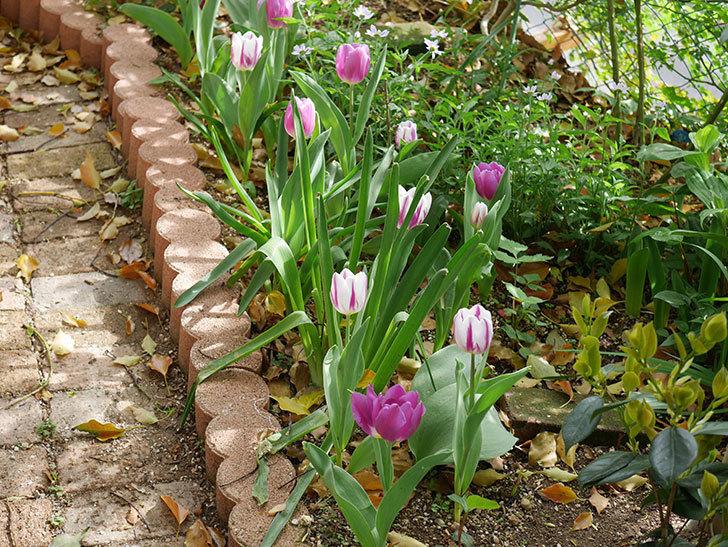 パープルフラッグとフレミングフラッグの花がたくさん咲いた。2021年-053.jpg