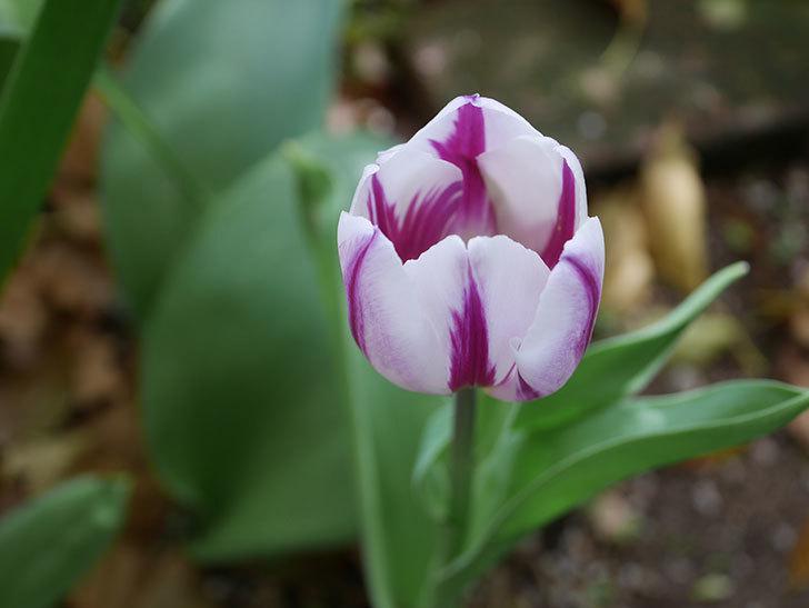 パープルフラッグとフレミングフラッグの花がたくさん咲いた。2021年-058.jpg