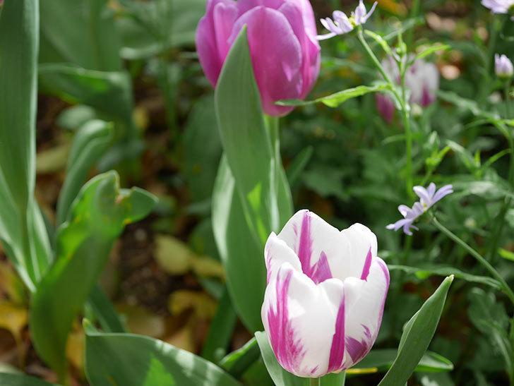 パープルフラッグとフレミングフラッグの花がたくさん咲いた。2021年-065.jpg