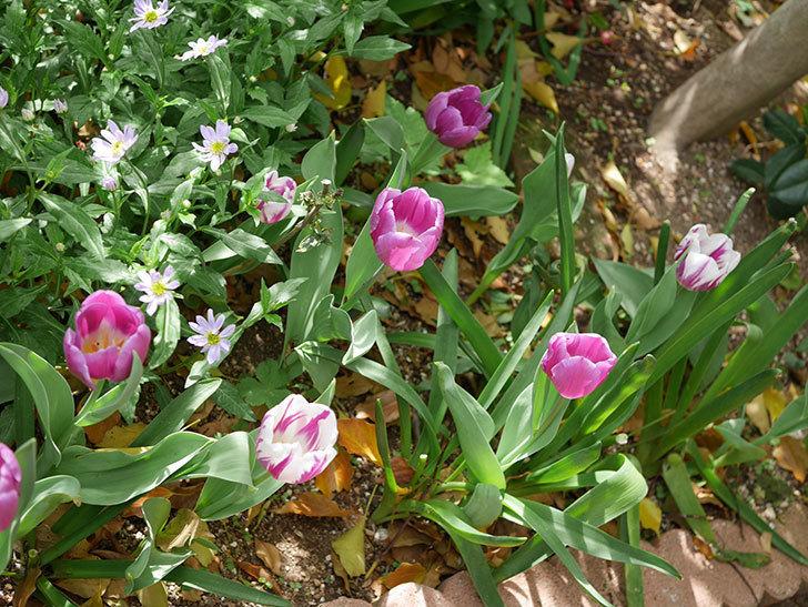 パープルフラッグとフレミングフラッグの花がたくさん咲いた。2021年-070.jpg