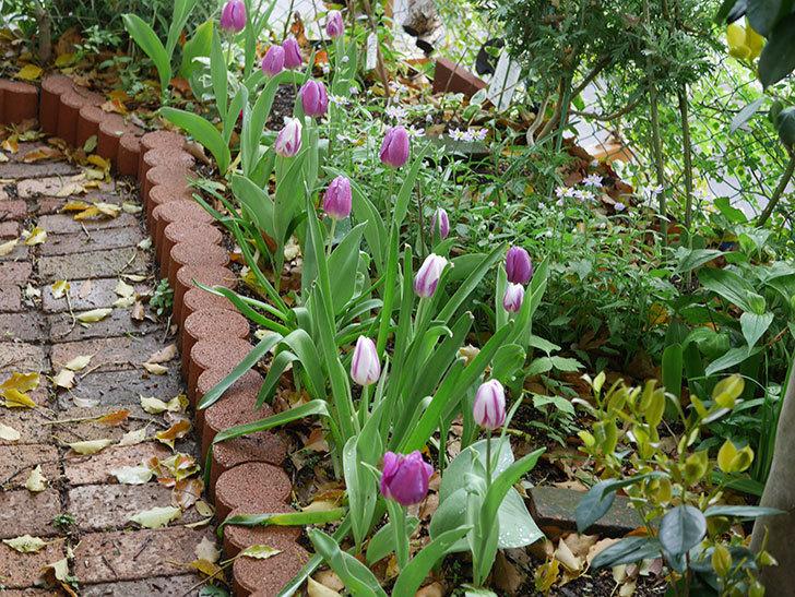 パープルフラッグとフレミングフラッグの花がたくさん咲いた。2021年-072.jpg