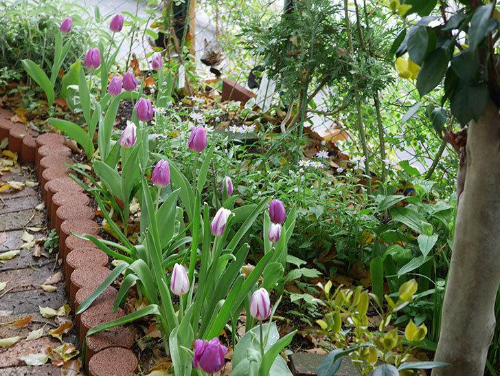 パープルフラッグとフレミングフラッグの花がたくさん咲いた。2021年-073.jpg