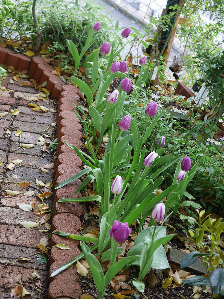パープルフラッグとフレミングフラッグの花がたくさん咲いた。2021年-074.jpg