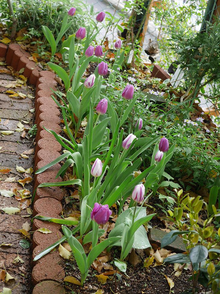 パープルフラッグとフレミングフラッグの花がたくさん咲いた。2021年-075.jpg