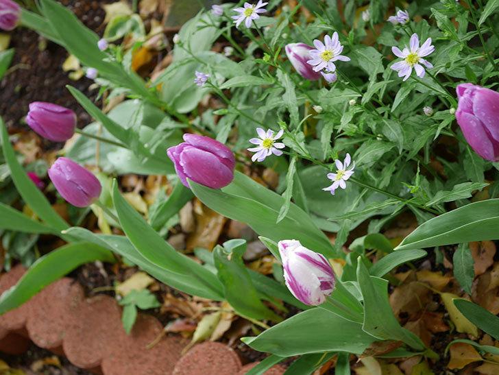 パープルフラッグとフレミングフラッグの花がたくさん咲いた。2021年-079.jpg
