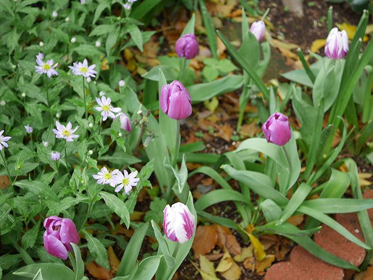 パープルフラッグとフレミングフラッグの花がたくさん咲いた。2021年-084.jpg