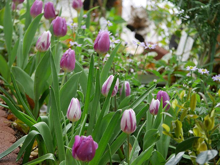 パープルフラッグとフレミングフラッグの花がたくさん咲いた。2021年-087.jpg