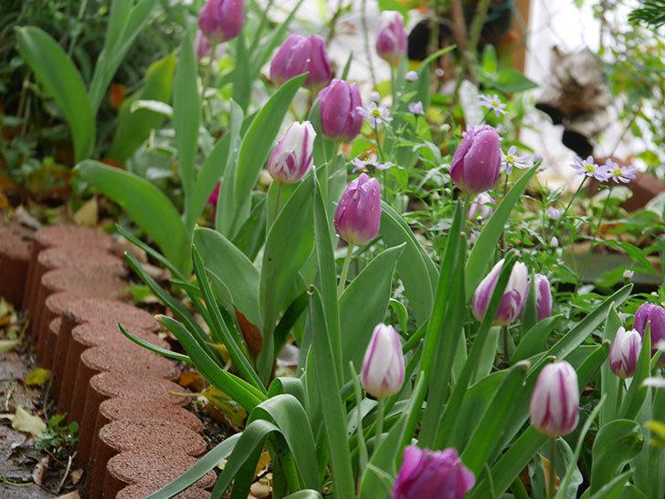 パープルフラッグとフレミングフラッグの花がたくさん咲いた。2021年-088.jpg