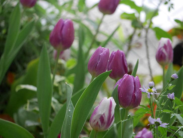 パープルフラッグとフレミングフラッグの花がたくさん咲いた。2021年-091.jpg