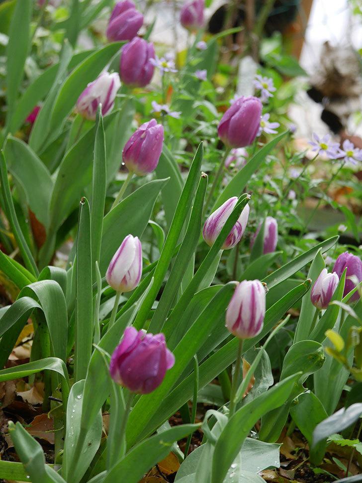 パープルフラッグとフレミングフラッグの花がたくさん咲いた。2021年-092.jpg