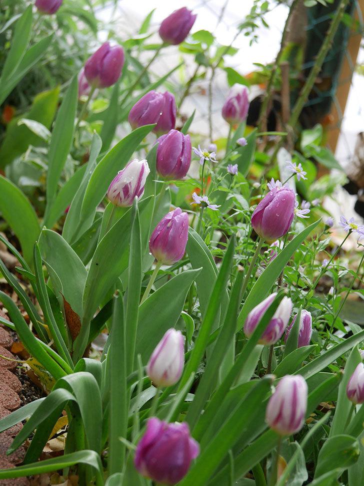 パープルフラッグとフレミングフラッグの花がたくさん咲いた。2021年-093.jpg