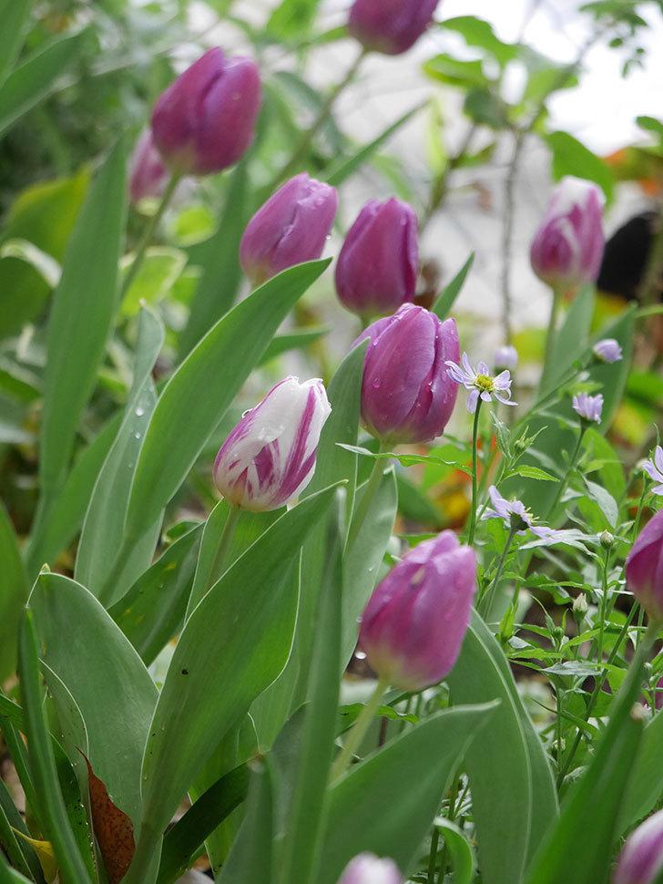 パープルフラッグとフレミングフラッグの花がたくさん咲いた。2021年-094.jpg